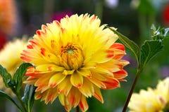 Yellow Dahlia in Garden Setting Royalty Free Stock Photography
