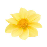Yellow dahlia head isolated on a white. Detailed retouch. Stock Image