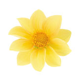 Yellow dahlia head isolated on a white. Detailed retouch. Stock Images