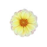 Yellow dahlia isolated on white background Stock Image