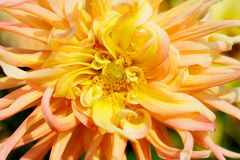 Yellow Dahlia Macro Stock Photography