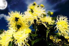 Yellow Dahlia in night Stock Photography