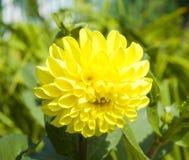 Yellow dahlia Stock Images