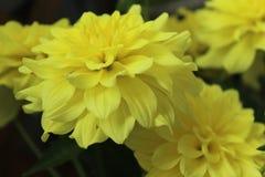 A Yellow Dahlia royalty free stock photo