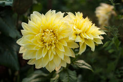 Yellow dahlias brighten the sun`s rays in the garden in the summer. Yellow dahlia against the background of green blurred leaves royalty free stock photo