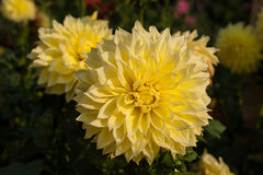Yellow dahlias brighten the sun`s rays in the garden in the summer. Yellow dahlia against the background of green blurred leaves stock photography
