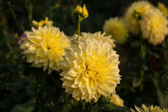 Yellow dahlias brighten the sun`s rays in the garden in the summer. Yellow dahlia against the background of green blurred leaves stock photos