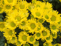 Yellow daisey flower. The image of many yellow daisy flower in close up Stock Photography