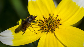 Yellow Daisey and Insect. Fly pollen yellow Daisey. Natural nature, white vivid summertime Stock Images