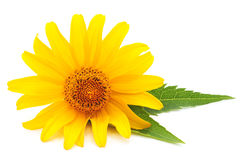 Yellow daisie. Yellow daisie on a white background Royalty Free Stock Images