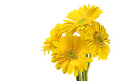 Yellow daisies Royalty Free Stock Photos