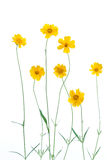 Yellow Daisies. Isolated on white background Royalty Free Stock Photography