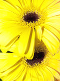 Yellow daisies Stock Photography