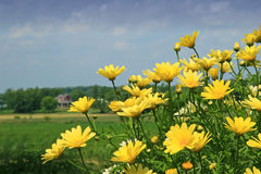 Yellow daisies. Wild Yellow daisies and blue  sky Stock Images