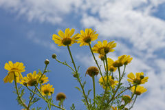 Yellow Daisies. Against Blue Sky Royalty Free Stock Photo