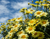 Yellow Daisies Royalty Free Stock Photos
