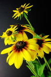 Yellow Daisies (Black-eyed Susan). 2 variaties of Blackeyed Susans (Daisy) in a simple arrangement with fine detail Royalty Free Stock Photos
