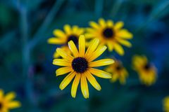 Yellow daisies on a blue-green background. Perfect for screen saver or wallpaper on screen.  royalty free stock photography