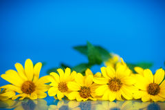 Yellow daisies Royalty Free Stock Photo