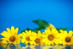 Yellow daisies Royalty Free Stock Photo
