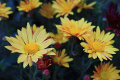 Yellow daisies Royalty Free Stock Image
