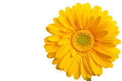 Yellow daisies copy space Royalty Free Stock Photos