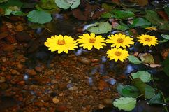 Yellow daisies floating on water Royalty Free Stock Photo