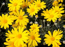 Yellow daisies from the florist for sale Royalty Free Stock Images