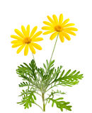 Yellow daisies. Flowers isolated on white background Stock Photo