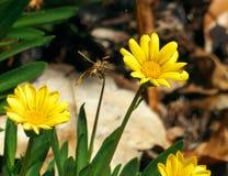 Yellow Daisies. In a garden Stock Photos