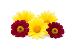 Yellow daisies gentle colors Royalty Free Stock Image