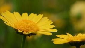 Yellow daisies gently moving with the wind during spring stock footage