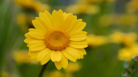 Yellow daisies gently moving with the wind during spring stock video
