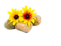 Yellow Daisies on Gray Stones Isolated Royalty Free Stock Photo