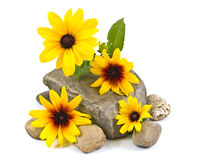 Yellow Daisies on Gray Stones Isolated Royalty Free Stock Photography