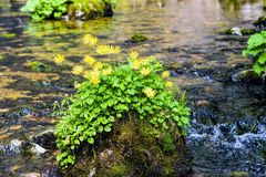 Yellow daisies growing on a river rock Stock Photos