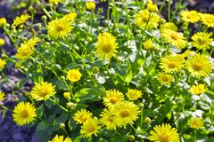 Yellow daisies grown in the flower bed. Background.  royalty free stock image
