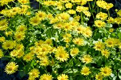 Yellow daisies grown in the flower bed. Background.  stock image