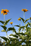 Yellow daisies (Heliopsis). On the background of blue sky Stock Photo