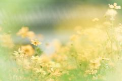 Free Yellow Daisies In Warm Background Royalty Free Stock Image - 159670876