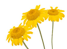 Yellow Daisies Isolated Stock Photo