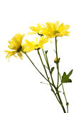 Yellow Daisies Isolated on White Royalty Free Stock Photography