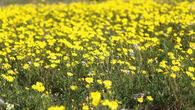 Yellow daisies stock footage
