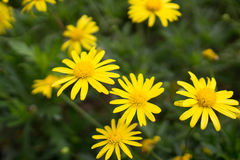 Yellow daisies Leopards Bane flower. Daisies Leopards Bane flower Doronicum blooming spring Stock Photos