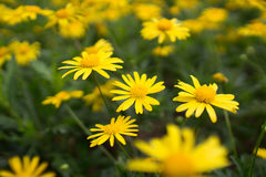 Yellow daisies Leopards Bane flower. Daisies Leopards Bane flower Doronicum blooming spring Royalty Free Stock Images