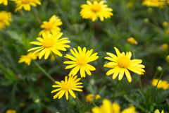 Yellow daisies Leopards Bane flower. Daisies Leopards Bane flower Doronicum blooming spring Royalty Free Stock Photo