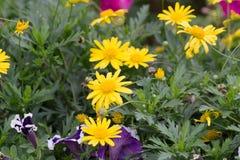 Yellow daisies Leopards Bane flower. Daisies Leopards Bane flower Doronicum blooming spring Royalty Free Stock Photos
