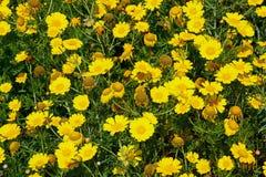 Yellow daisies, Malta. Stock Image