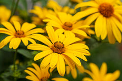 Yellow daisies outdoors Royalty Free Stock Photography