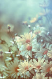Yellow daisies with soft filtered light Royalty Free Stock Photography